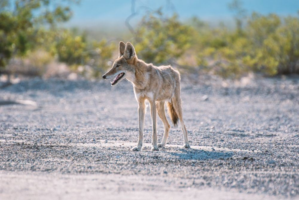 Learn how to safely coexist with coyotes