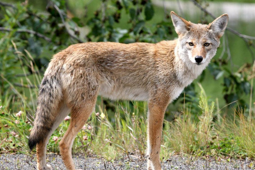 City to host coyote presentation September 4